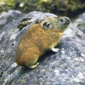 Everything about the Northern Pika