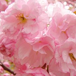 Sakura Matsuri - The Cherry Blossom Festival