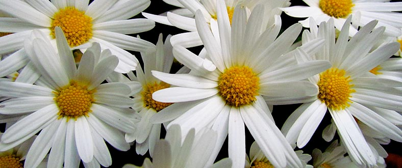 Japan's Unofficial Flower: The Chrysanthemum