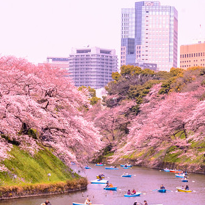 Cherry Blossoms in the C...
