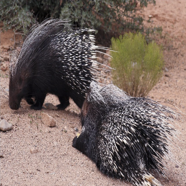 Porcupine cleaning his t...