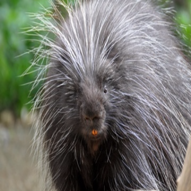 Gebadiah the Porcupine