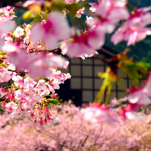 Beautiful Cherry Blossom...